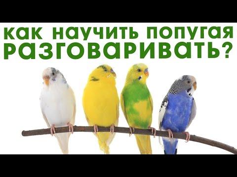 Как научить разговаривать попугая