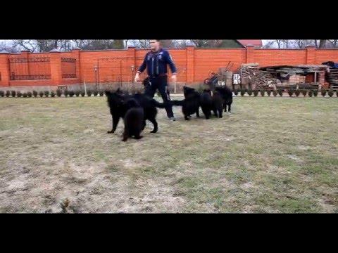 Немецкие овчарки длинношерстные черные