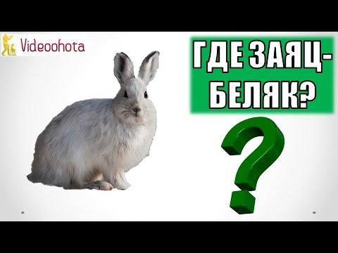 Где и Как Искать Зайца-Беляка на Охоте? Videoohota
