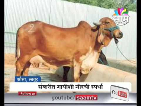 Special Bazar For Geer Cow Breed