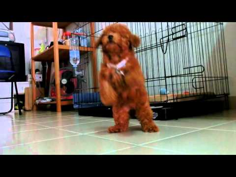 Amber Toy Poodle - 3 Months Old Barky Amber