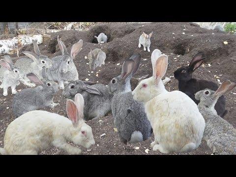 Кролики породы Ризен - описание и разведение (фото и видео)