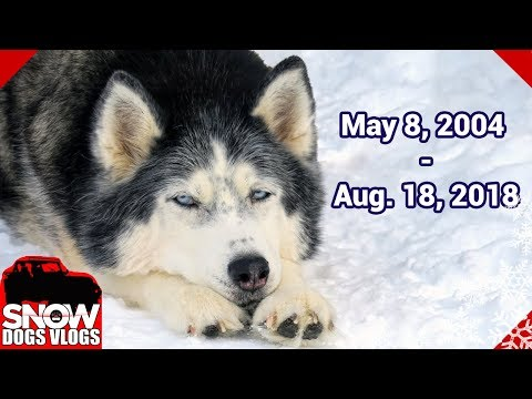 Run Free Oakley the Husky RIP We Will Miss You