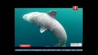 Гренландские акулы - самые долгоживущие животные на планете