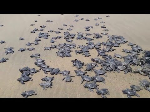 New Born Baby Sea Turtles Race To The Ocean Youtube