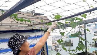 Cắt đọt Mướp trồng thùng xốp cho ra nhiều nhánh ( phần 2 ) | Khoa Hien 352