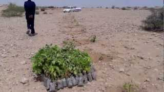 Jatropha Pakistan Fauji  wind farm Sept 2012 ,by Salim   Ma