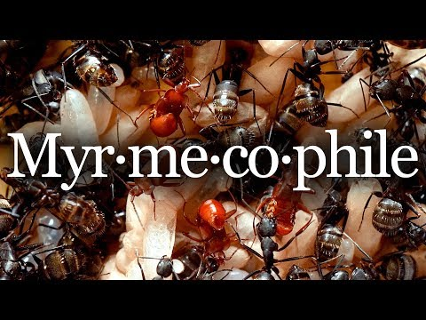 Myrmecophiles: beetles living in an ant nest!