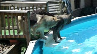 kimber swimming two years post acl tear without surgery conservative management success dog