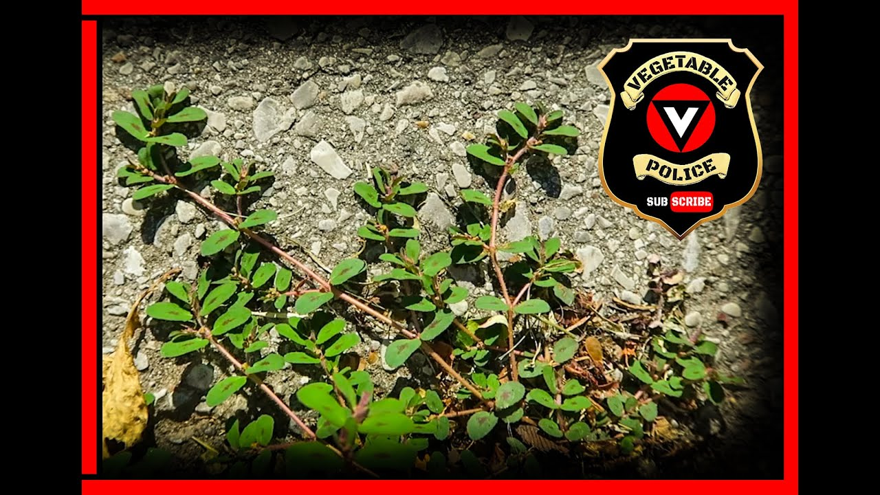 You will die if you eat this common weed! Purslane look alike