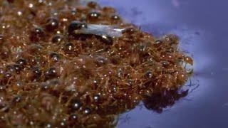 Ants Ingenious Survival Method During Flood | Superswarm | BBC Earth
