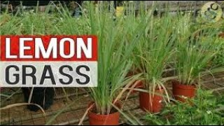 weight lose with lemongrass