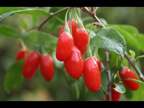 How to Grow Goji Berries - Complete Growing Guide