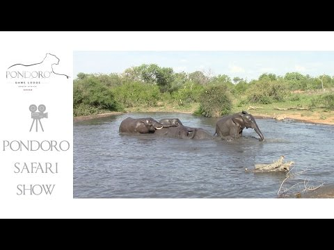 A herd of elephants swimming
