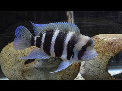 Fish Poop Management For The Frontosa Aquarium!