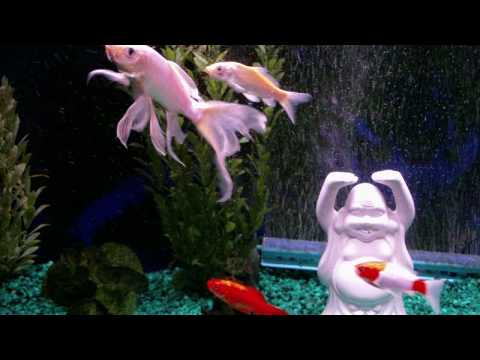 butterfly koi youtube