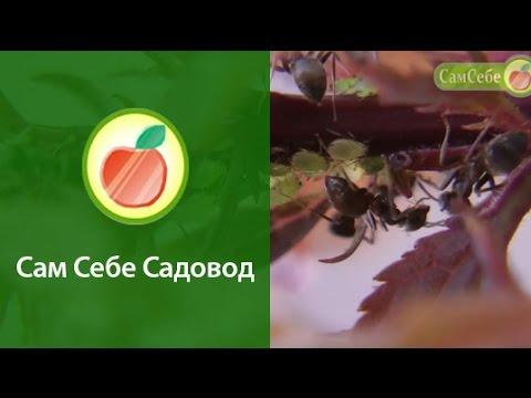 Вопрос: Как далеко муравей уходит от муравейника?