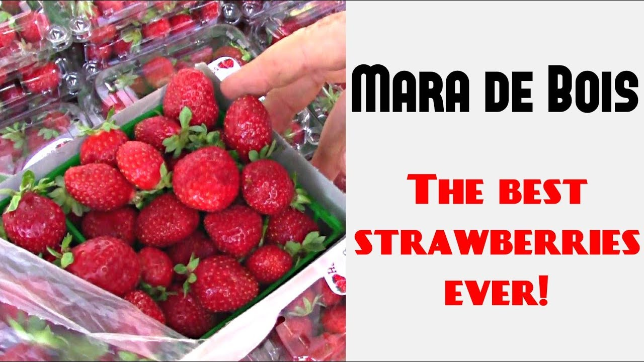 The Most Delicious Strawberries Mara Des Bois Weird Fruit Explorer Ep 263