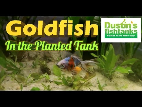 How To Keep Gold Fish In Planted Tank; Star Grass Melting & Coming Back