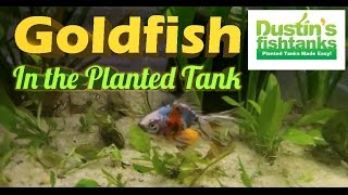 Gold Fish in Planted Tank, Star Grass Melting & Coming Back