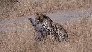Djuma: Leopard-Hosana male makes a Warthog kill - 13:40 - 06/27/19