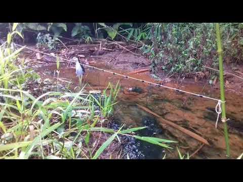 Lokasi pikat yang banyak burung sawah ruak-ruak