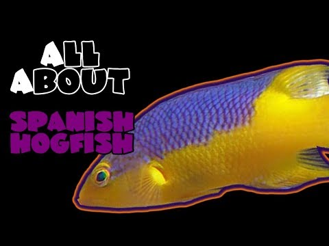All About The Spanish Hogfish