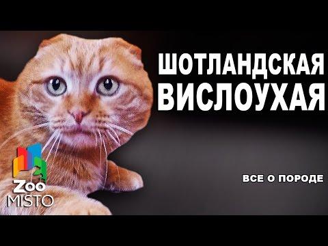 Скоттиш Фолд, Шотландская Вислоухая, Породы кошек
