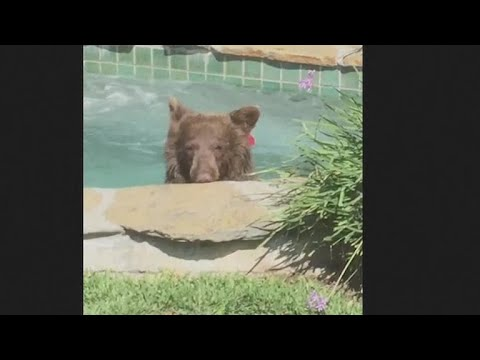 Bear relaxes in a California hot tub, drinks margarita