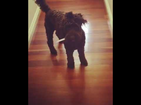 Animalsdt  brown curly haired dog runs through house with blue knife