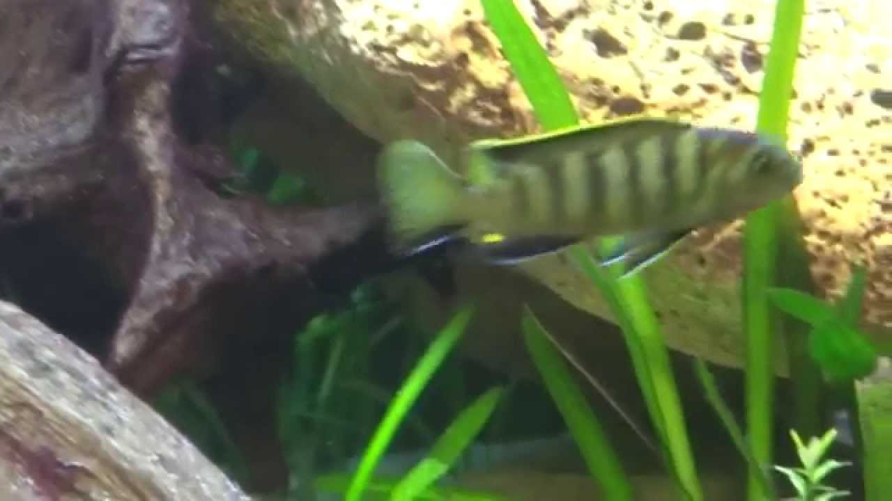 Acquario ciclidi malawi 250 litri i pesci 3 malawi for Acquario 250 litri