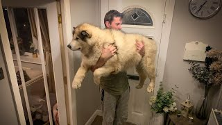 How Much Does A Giant Alaskan Malamute Weigh? THEY ARE HEAVY!!