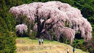 乙ケ妻の枝垂れ桜 山梨県牧丘