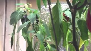 Growing Jalapeño peppers indoors