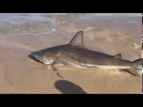 Tubarão aparece em praia de Imbituba e é levado de volta ao mar