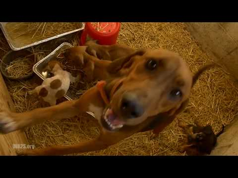 Hope For Dogs Like The DoDo - Detroit Pit Crew Rescue Homeless 13 Abandoned Hound Dogs