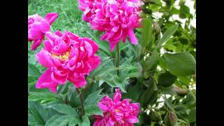 Flowers, Geranium, Rose, Clematis, Peony, Impatiens, Red Dogwood Tree, Petunia, Hibiscus, Tulips,