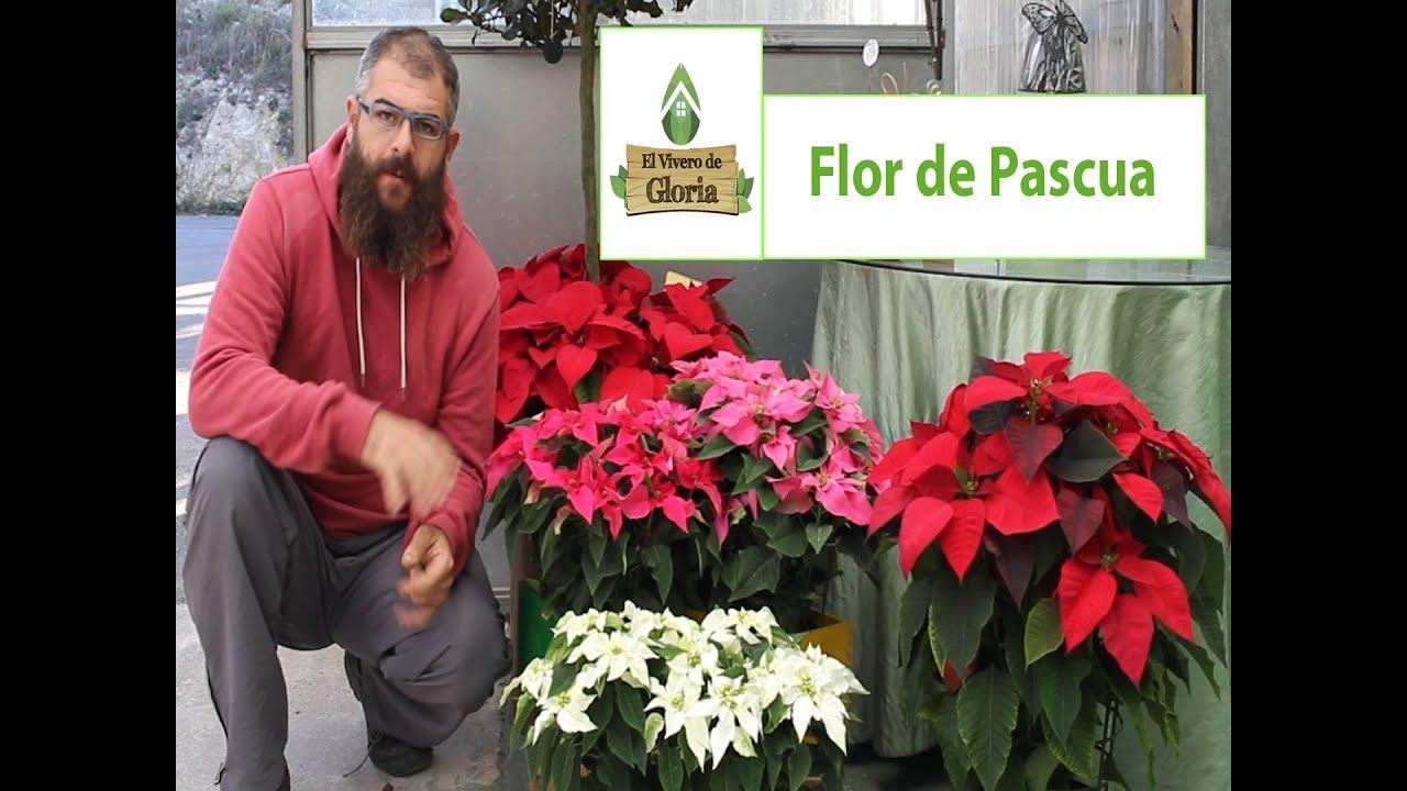 Flor de pascua cuidados y mantenimiento youtube - Flor de pascua cuidados ...