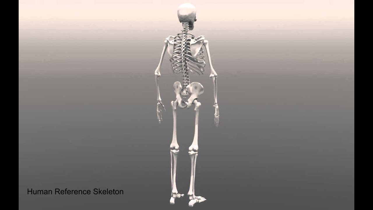 Human Skeleton Anatomy Reference Youtube