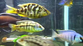 75 Gallon African Cichlid Tank (Peacocks and Haps)