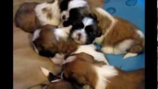 Christmas Shih-tzu Puppies (columbus, Ohio Available 12/15/13