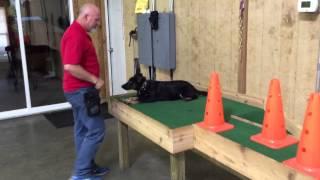 "German Shepherd Puppy ""eden"" 16 Week Old Obedience Training For Sale"
