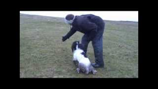 Springer Spaniel - Sending Dog For One Retrieve Then Change To A Second Dummy - Vid 2
