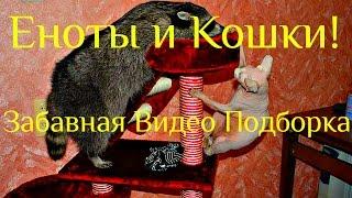 Милые Еноты и Кошки! Забавная Видео Подборка  / Raccoon And Cat