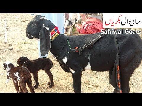 Repeat Bakri K Bachey Sale in Pakistan - Bakra Mandi by