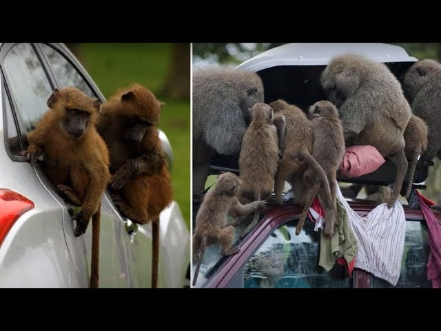 Baboons spotted in safari park with knives and chainsaws