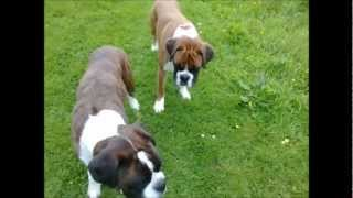 Boxer Dogs Playing: Archie And Alfie Chase A Ball!