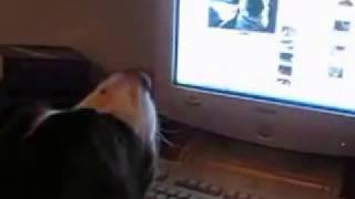 Chessy English Springer Spaniel Barks To Youtube