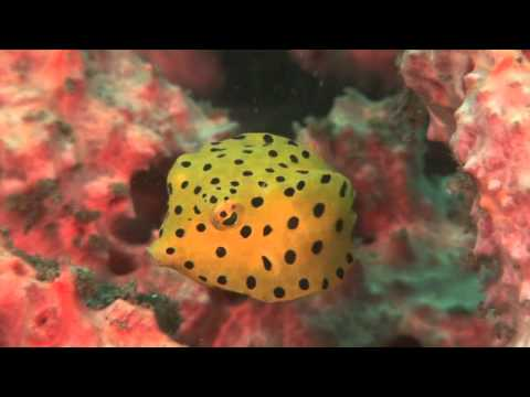 Tiny Shy Boxfish Flirts With The Camera!