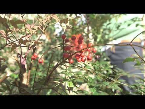 Cutting Nandina with James Farmer | Southern Living